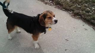 Moe-3/12-beagle/welsh Corgi