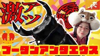 激アツ降臨🔥来たゼ‼️怪物くん参上💥【ブータンアンタエウス】【クワカブ】