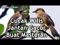Suara Burung Cucak Wilis Jantan Gacor Buat Masteran OK