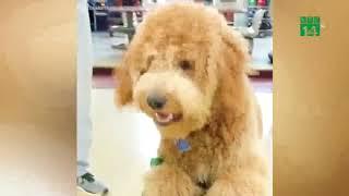 VTC14   Chú chó có biệt tài chơi Bowling