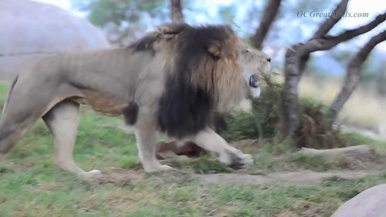 lions roar at san diego safari park zoo roar and snore camping youtube