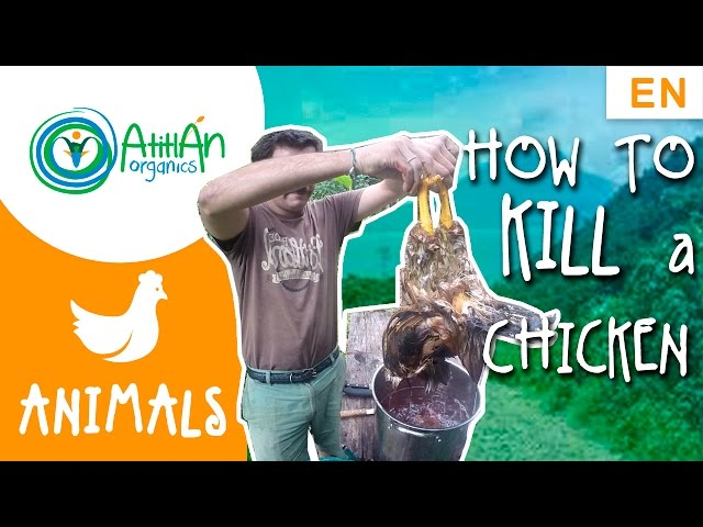 How to kill and process a chicken tutorial