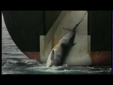 Graphic Japanese Whaling: What Really Happened in 1993