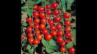 طريقة زراعة طماطم سوبر سويت 100 فى المنازل