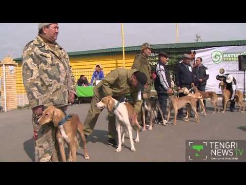Tazy dog show in Kazakhstan