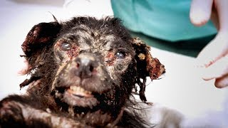 Best Animal Rescue! Little black dog found crawling under cars fights for his life !