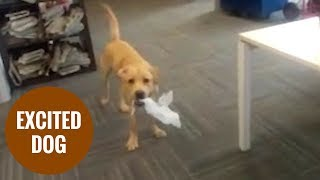 Hyper labrador Django bouncing around owners office