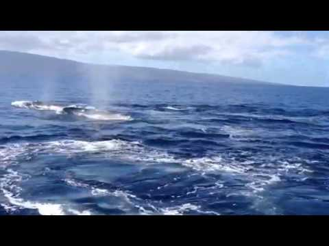 Maui whale encounter from Westin hotel 1 mile offshore 2016