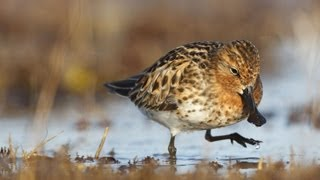 Spoon-billed Sandpiper: Foraging thumbnail