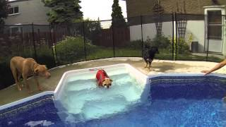Gopro Hero3 Coco The English Bulldog Pool Time