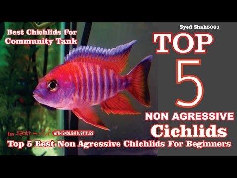 Top 5 Best Cichlid For Beginners #Non Aggressive Beginner's Friendly Fishes