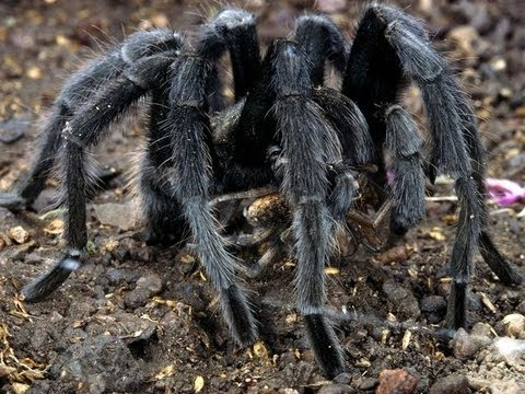 Black Hairy Spider With Green Eyes