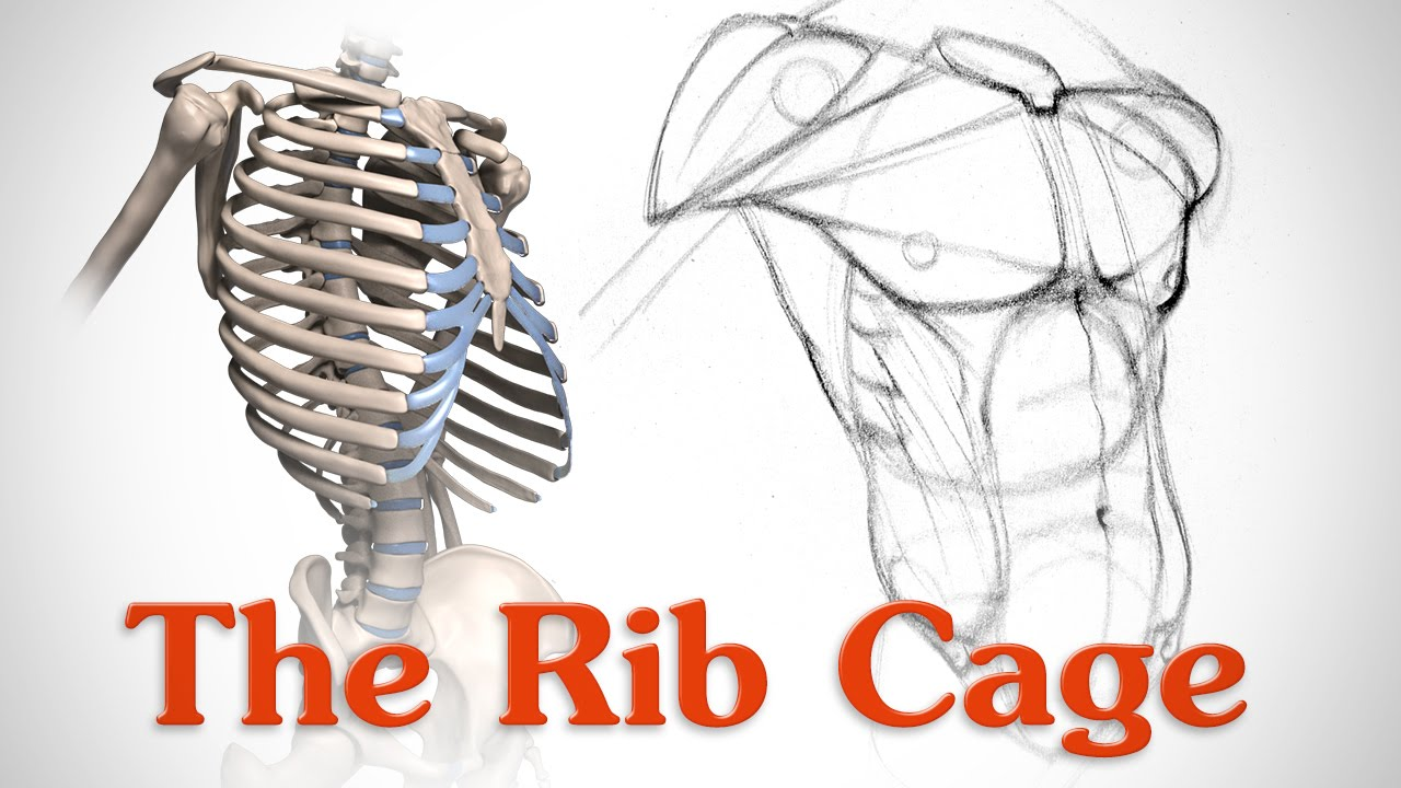 Rib Cage Bone Diagram Mercedes E500 Wiring Anatomy Of The For Artists Youtube