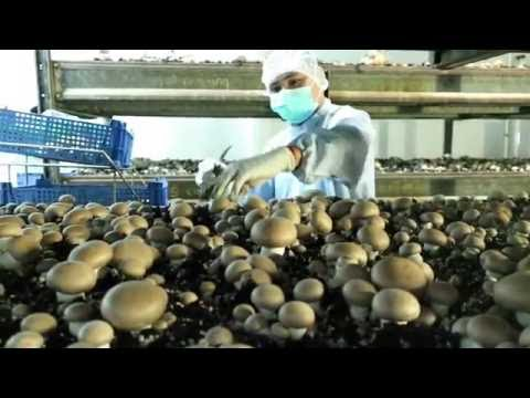 Mushroom Organic Farming