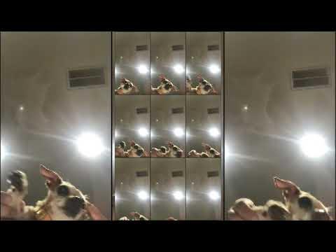 Tik Tok - Mr. Sandman Dogs compilation #1
