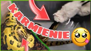Karmienie węży ➡️ codzienność hodowcy 😁🤠