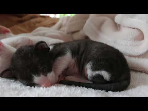 cute Cornish Rex Baby is sleeping!