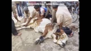 vuclip Angry cow qurbani 2016, 2017 Professional Qasai Funny Eid ul adha