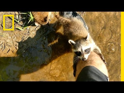 Thumbnail: Adorable Raccoon Babies Make Human Friend | National Geographic