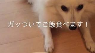 Japanesespitz Lemon  <ガッついてご飯食べる> わたちレモン  白もふ ...