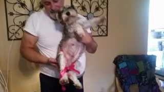 Pregnant Miniature Schnauzer And Daddy!!