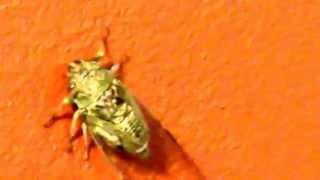Цикада семнадцатилетняя (Magicicada septendecim)