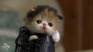 Tiny Kitten in a Shoe