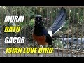 Murai Batu Medan Gacor Isian Love Bird Ngekek Panjang  Mp3 - Mp4 Download