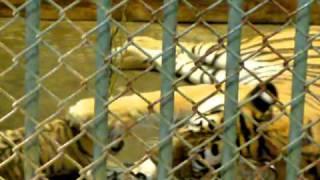 多摩のトラ、赤ちゃんとシズカさん thumbnail