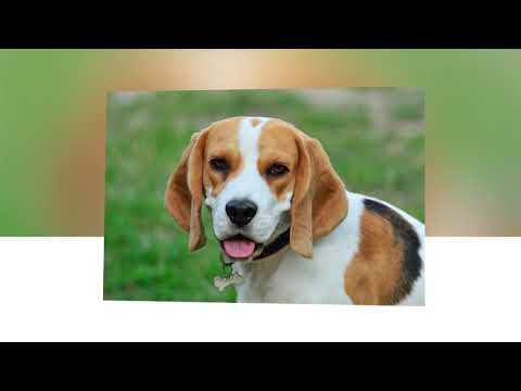 Beagle dog breed