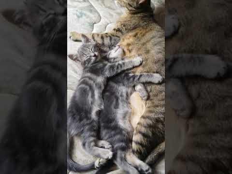 Bengal /oriental -Norwegian Wild  cats family