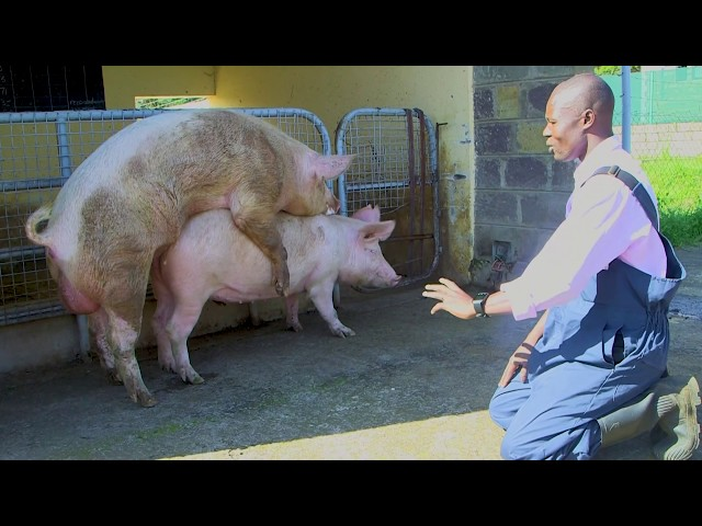 NATURAL BREEDING IN PIGS