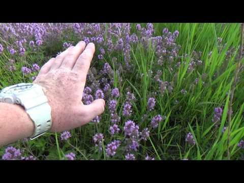Трава шалфей: лечебные -