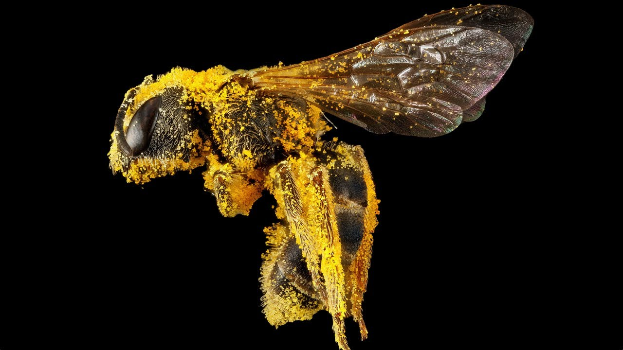 disappearing honey bees While we worry about honeybees, other pollinators are disappearing   worries about the health of honeybees often miss the larger picture  all the  focus on honeybees overlooks other important pollinators, such as.
