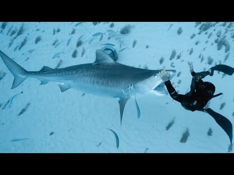 CLOSE CALL with a TIGER SHARK in the Bahamas!!!
