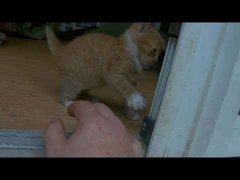Adorable Ginger kitten cat learning about life so cute i could die !