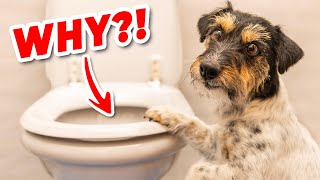 Why Do Dogs Drink From The Toilet? | Advice From A Vet