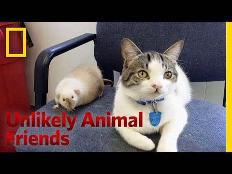 The Cat and the Rat | Unlikely Animal Friends