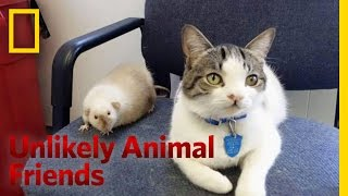 Video The Cat and the Rat | Unlikely Animal Friends download MP3, 3GP, MP4, WEBM, AVI, FLV Desember 2017