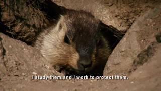 The Mongolian Marmot