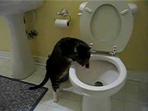 Cat flushing toilet youtube for Commode kitty