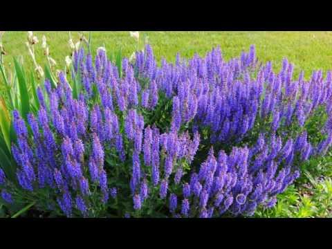 Трава шалфей: лечебные свойства и противопоказания