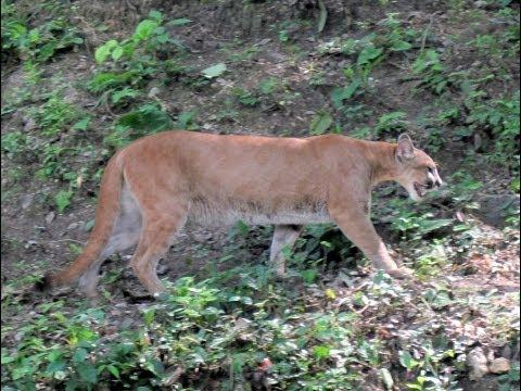 Puma, Petencito Zoo, Flores, Lago Peten Itza, Guatemala, Central America, North America