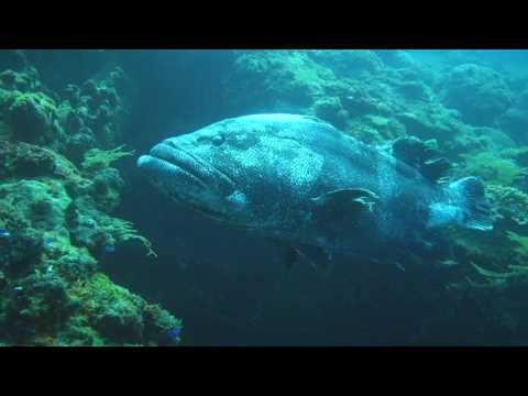 Nico Dives Cool - Bali Diving - Malabar grouper or greasy grouper