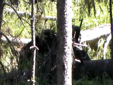 Yellowstone Hayden Valley Grizzly 2011
