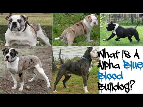 Introducing The Alpha Blue Blood Bulldog!!!