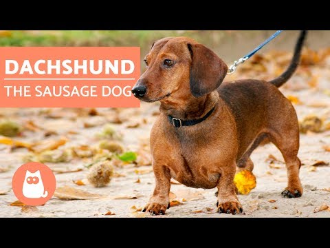 DACHSHUND - The Sausage Dog