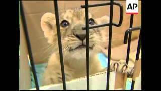 Tokyo zoo celebrates birth of rare Asiatic lion