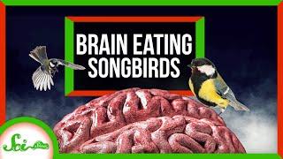 Attack of the Brain-Eating Killer Songbirds