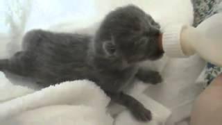 Кормление британских кошек